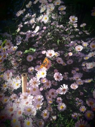 Een van mijn favoriete ruilplanten: de herfstaster