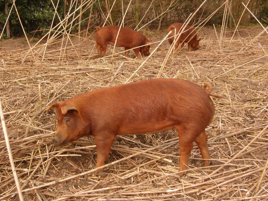 Varkens kunnen heel goed ploegen. Ze hebben daar een neus voor.