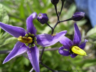 SolanumDulcamara-bloem-sm