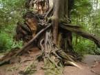 Big Old Cedar Tree