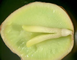 ginkgoembryo